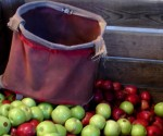 Apples in back of truck