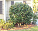 How to Prune Bushes to Look like Trees – Today's Homeowner