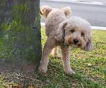 Poodle urinating